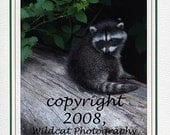 Baby Raccoon Photograph Note Card or Greeting Card