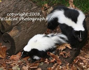 Skunk Photograph