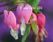 Bleeding hearts in the spring garden 5x7 print