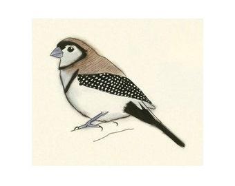 Bird art - Double-barred Boy -  6 X 4 print