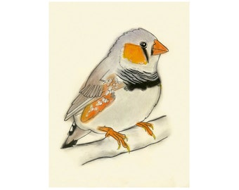 Zebra Finch Bird Artwork print -   Peter -  4 X 6 print - 4 for 3 SALE