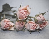 """Roses- soft and soothing photographic print of light pink bouquet of roses, 5x7"""" (13x18cm)"""