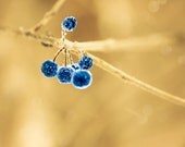 Blue and gold Winter photography blue berries indigo winter berry winter decor cottage chic rustic - True Blue 8x8