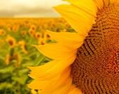 Sunflower photo flower art nursery wall art sunflower photo mustard yellow golden brown - Field of Sunshine 8x10