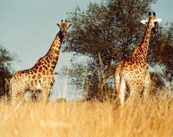 Giraffe photo nursery art nursery decor animal print nature photo african safari long neck spots : Tall Tales 8x12 Nature Photo