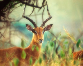 SALE - Wildlife photography, art for child's room, animal photo, africa photo, pastel colors, horns, antlers, deer, buck - Impala 8x10