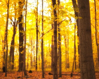 Landscape photography, forest photo, fall colors, harvest gold, burnt orange, tree photograph, autumn leaves, gold, yellow