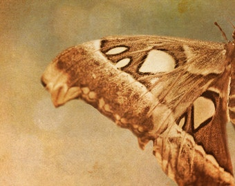 Butterfly photography brown moth wings earthtones nature photograph olive green natural history : Lepidoptera 8x12