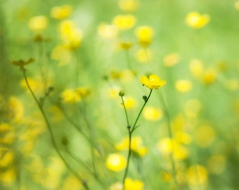 Yellow flowers photography buttercups summer decor flower photography yellow accent green field of dreams shabby chic floral
