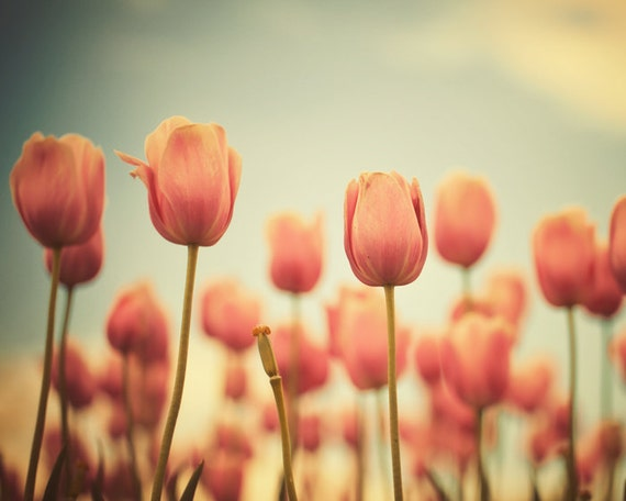 Red tulips summer photography pastel shades romantic pale green red flowers scarlet ruby girly  - The Color of Love 8x10