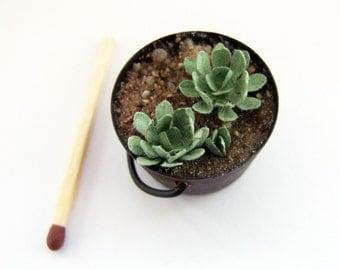 Rusty tub of miniature escheverias