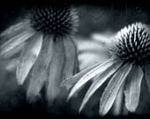 nature photography flower blue coneflower fine art phogography home decor nursery decor