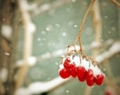 Winter photograph, red berries, snow print, home decor, Fine Art Photograph - judeMcConkeyPhotos