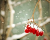 red berriees winter snow photo fine art photography nature home decor office decor holiday gift