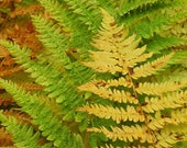 Fall Ferns - n autumn scene of multi-colored ferns close-up - Six (6) pack of 4 x 6 notecards