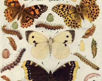 1923 European Butterflies and Moths Natural History Print for Framing
