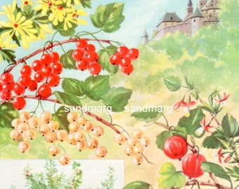 Vintage 1950s Currants and Gooseberries by Else Bostelmann to Frame