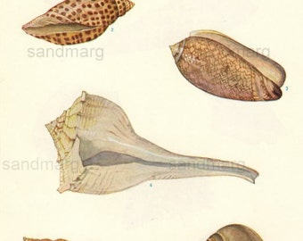 Vintage American and Tropical Seashells Gastropoda Scientific Natural History Book Illustration Isabel Cooper to Frame