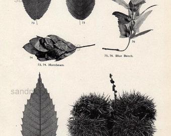 Antique Chart Walnut Yellow Birch White Birch Beech Chestnut  Leaves Fruits Trees Botanical Print to Frame