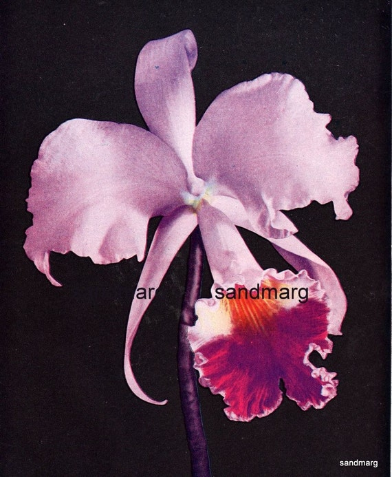 1907 Purple Orchid Thomas Young New Jersey for Framing