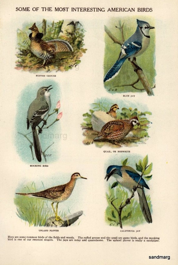 1896 Interesting American Birds Chromolithograph
