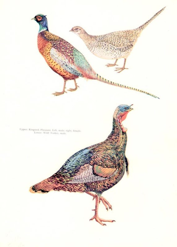 Vintage Ringneck Pheasant and Wild Turkey Print by Luis M Henderson to Frame