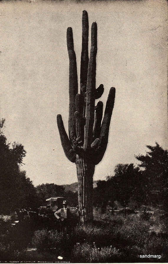 1907 Giant Cactus Phoenix Arizona Black and White Encyclopedia Book Illustration