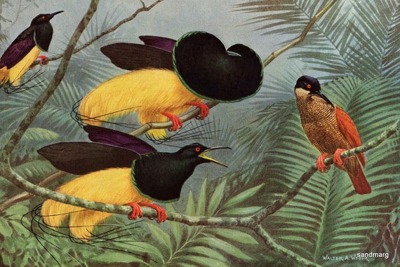 Vintage Birds of Paradise Courtship Emperor of Germany and Twelve Wired Double Sided Print Walter Weber