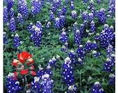 Texas Bluebonnets and Indian Paintbrush - 11x14 Fine Art Print