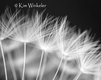 Black and White Dandelion Seeds  Fine Art Photograph 8x10