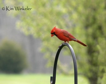 Male Cardinal 5x7 Fine Art Photograph