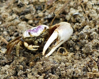 Fiddler Crab ACEO