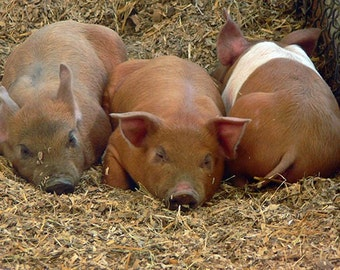 Piglets Photograph 5x7 Note Card