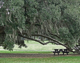 Picnic Under the Oak--Fine Art Photograph 5x7