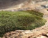Moss - 8x10 Lustre Finish Art Photograph