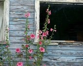Blue Shed - 8x10 Fine Art Photography, pink hollyhocks against a rustic sky blue shed, summer, spring, flowers, blue, pink, affordable home decor