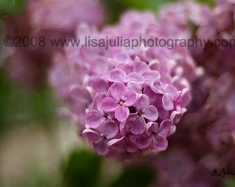 Purple Dreamy Lilacs Emerging 5x7 Original Fine Art Photograph