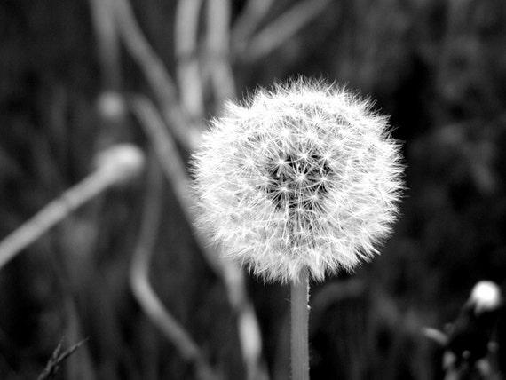 Dandelion.......Original Photography\/ Print by Echos Art