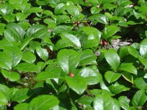 Wintergreen Essential Oil Analgesic