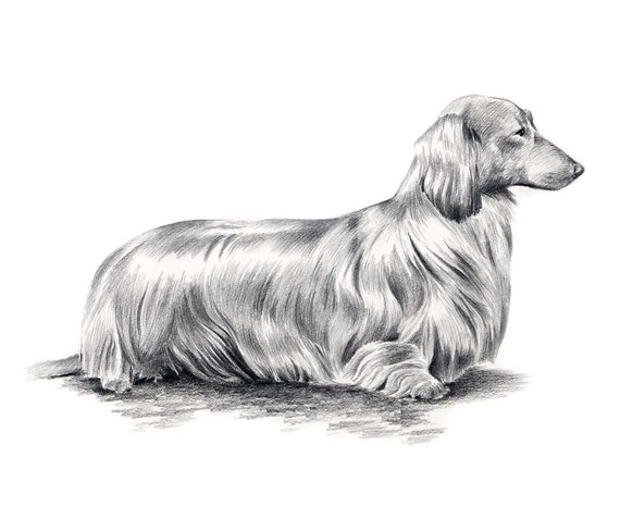 Line Drawing Dachshund : Long haired dachshund dog pencil drawing art print signed by