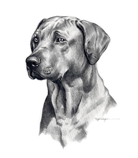RHODESIAN RIDGEBACK Dog Pencil Drawing Art Print Signed by Artist DJ Rogers