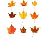 Bright Orange Maple Leaves - 8 x 8 fine art photograph - Maine forest, autumn woodland