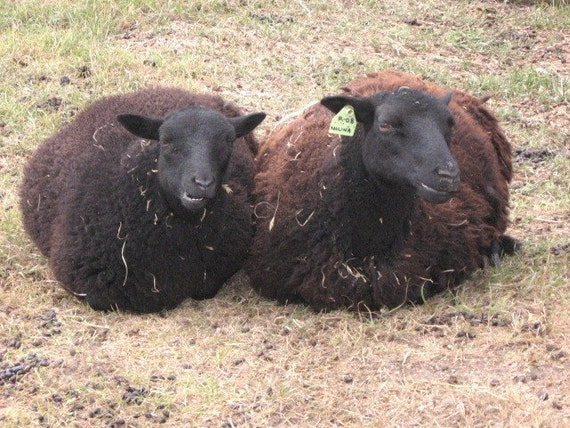 PRICE REDUCED on a pound of Black Welsh Mountain Sheep  RAW, COLD-SOAKED fleece - Making room for the spring shearing