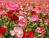 Poppy Field (8x8)