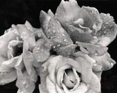 Three Roses (5x7)