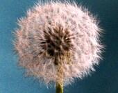 Dandelion 8 x 8 - Fine Art Photograph