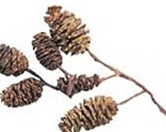 Real Miniature Birch Pine Cones - Package of 20
