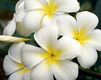 White Plumeria - Flower Photography - Fine Art Photography Nature - Hawaiian Art - Aloha Lei Flower Plumeria Frangipani - Flower Photo