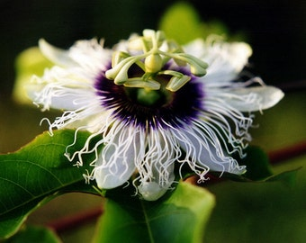 Passion Flower Photography - Hawaiian Lilikoi - Fine Art Photography - Romantic Gift - Hawaiian Art - Tropical Exotic Flower Gift for Her