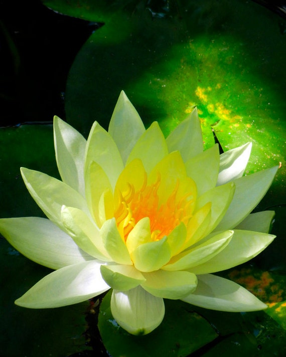 Nature Photography Yellow Lotus Flower Fine Art Flower Photography Water Lily in Pond  - Spiritual Radiant Light Zen Art Gift for Her or Him